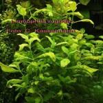 Limnophila rugosa – eine neue Aquarienpflanze