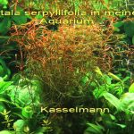 Rotala serpyllifolia